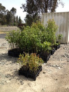 A new batch of young trees ready to be planted