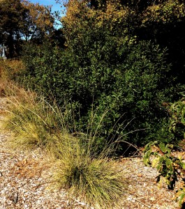 Coffeeberry and deergrass make excellent additions to a yard focused on native plants.  They are hardy and require no water once established.